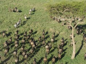 Wildebeest migration from above