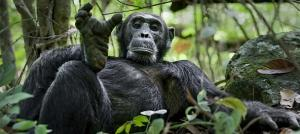 Chimpanzee in Gombe Forest