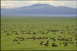 Wildebeest's breeding season
